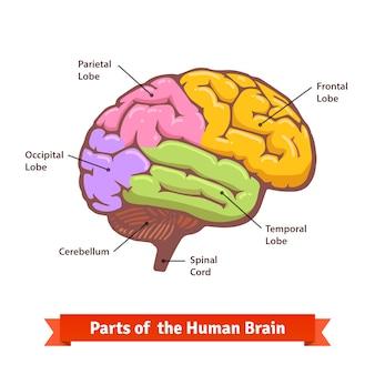 Gekleurd en gelabeld menselijk hersendiagram