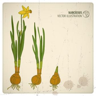 Gekleurde cartoon narcissus bloem illustratie met kiemkracht stadia