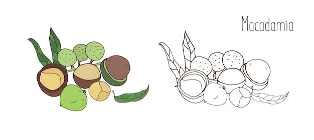 Gekleurde en monochrome tekeningen van macadamia in schelp en met bladeren bedekt. heerlijke eetbare steenvrucht of noot hand getrokken in elegante vintage stijl. natuurlijke vectorillustratie.