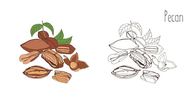 Gekleurde en monochrome tekeningen van pecannoten in de schaal en gepeld met bladeren.