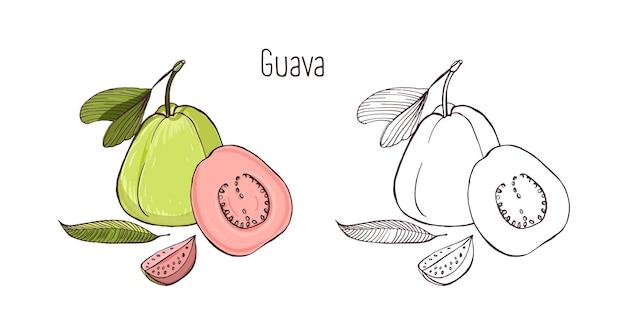 Gekleurde en zwart-wit overzichtstekeningen van hele en gesneden rijpe guave geïsoleerd op witte ruimte