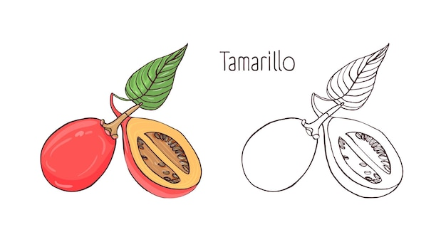 Gekleurde en zwart-wit overzichtstekeningen van hele en gesneden tamarillo geïsoleerd op een witte achtergrond.