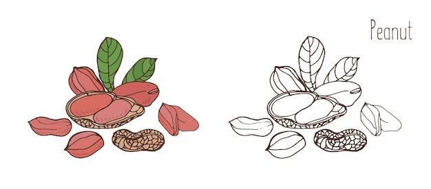 Gekleurde en zwart-wit tekeningen van pinda in de schaal en gepeld met bladeren.