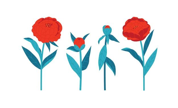 Gekleurde vectorillustratie van bloemen. pioenrozen zijn handgetekende geïsoleerd op een witte achtergrond. set van gestileerde pioenrozen met bladeren. collectie van bloemen voor een ansichtkaart.