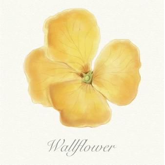 Gele aquarel wallflower geïsoleerd