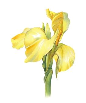 Gele heldere irisbloem op witte achtergrond