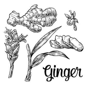 Gember. wortel, wortelsnijden, bladeren, bloemknoppen, stengels. vintage retro illustratie voor kruiden en specerijen set.