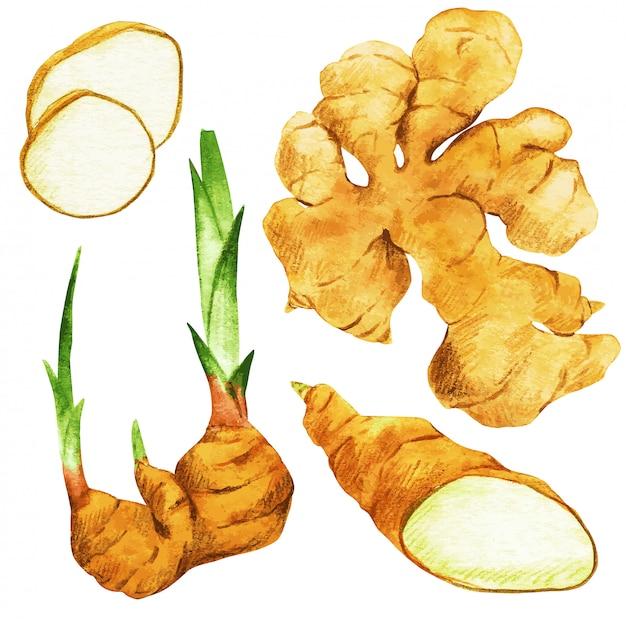 Gember, wortels en plakjes. hand getekend aquarel