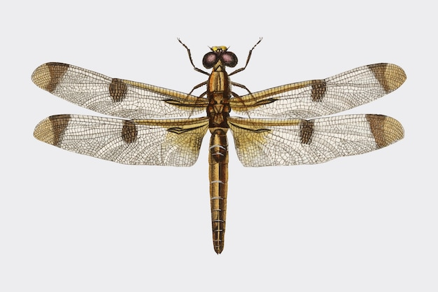 Geschilderde skimmer (libellula hersilia)