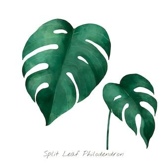 Gespleten blad philodendron die op witte achtergrond wordt geïsoleerd