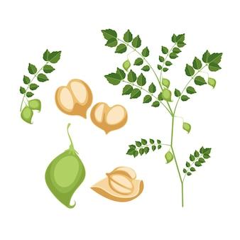 Getekende voedzame kikkererwtenbonen en plantillustratie