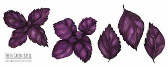 Getraceerde aquarel illustratie Verse paarse basilicum bladeren