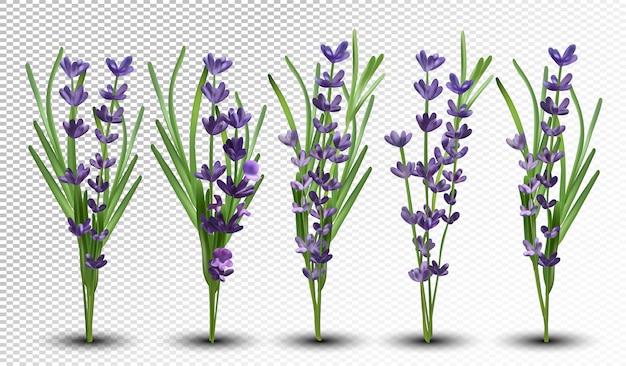 Geurige bos lavendel. bos prachtige lavendel op transparante ruimte. tedere violette lavendel