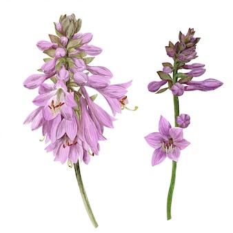 Gevoelige violette hostabloemen, met de hand getekend