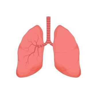 Gezonde longen menselijk intern orgaan geïsoleerd