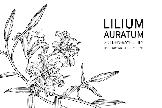 Golden-rayed lily bloem (lilium auratum) hand getrokken botanische illustraties.