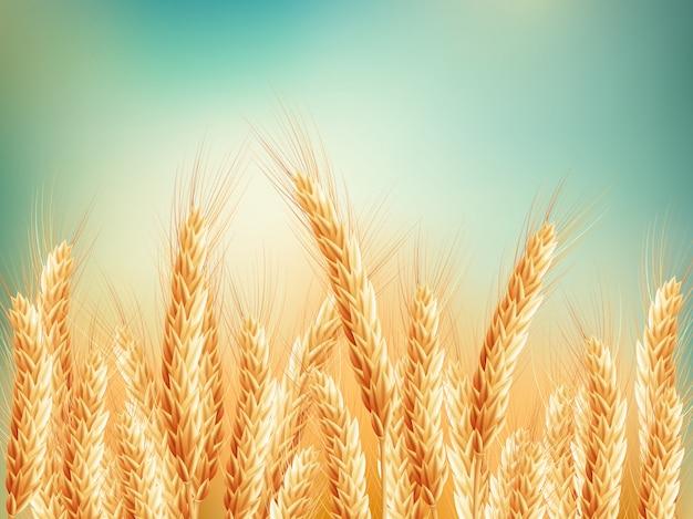 Gouden tarweveld en blauwe hemel.