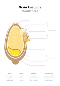 Graan anatomie werkblad illustratie