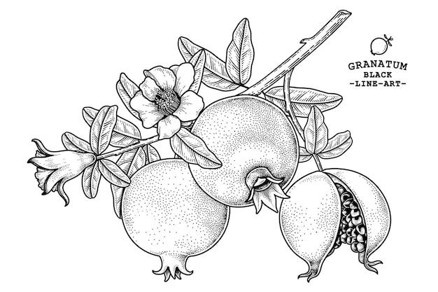 Granaatappel fruit hand getekende retro afbeelding