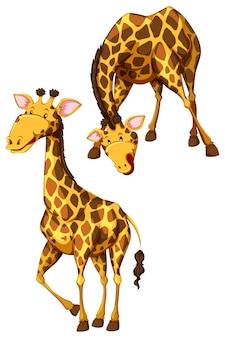 Grappige giraffen