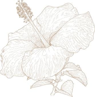 Graveren tekening van hibiscus bloem