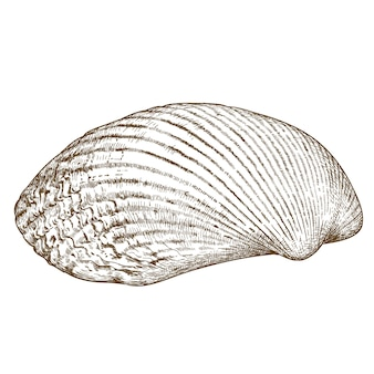Gravure illustratie van clam shell