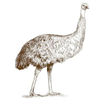 Gravure illustratie van gravure struisvogel emu