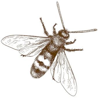 Gravure illustratie van horzel of vespa