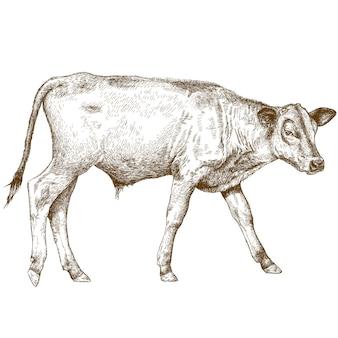 Gravure illustratie van kalf