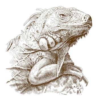 Gravure illustratie van leguaan hoofd