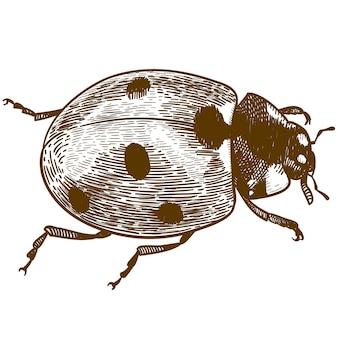 Gravure illustratie van lieveheersbeestje of lieveheersbeestje