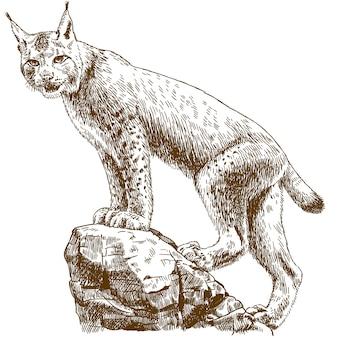 Gravure illustratie van lynx linx