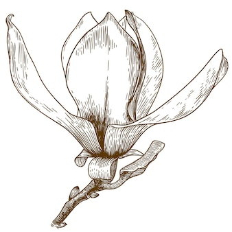 Gravure illustratie van magnolia bloem