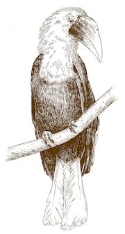 Gravure illustratie van mannelijke papoea neushoornvogel