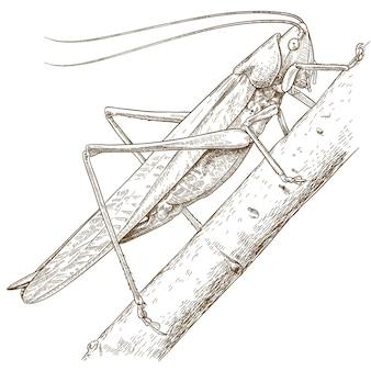 Gravure illustratie van sprinkhaan