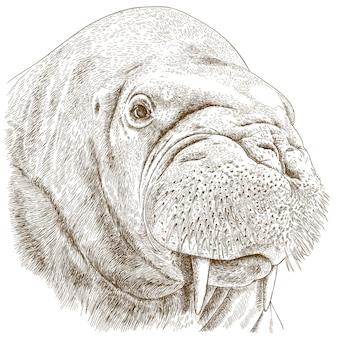 Gravure illustratie van walrus hoofd