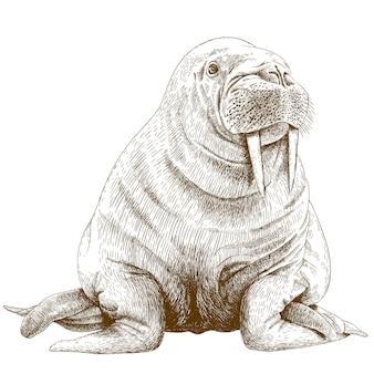 Gravure illustratie van walrus