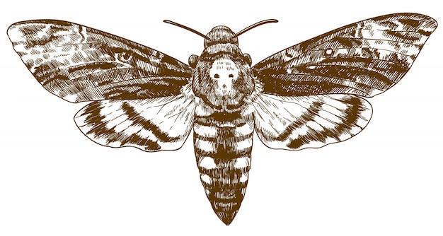 Gravure tekening illustratie van afrikaanse death-head hawkmoth