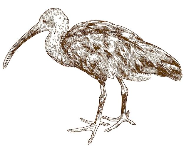 Gravure tekening illustratie van dieprode ibis