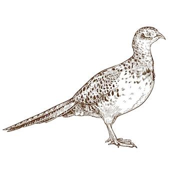 Gravure tekening illustratie van fazant vrouw