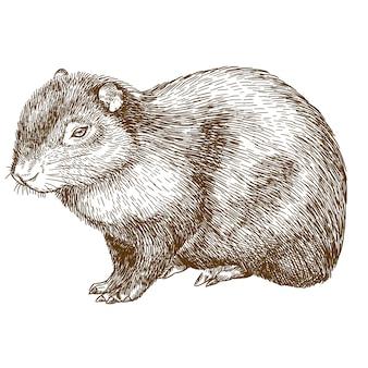 Gravure tekening illustratie van gemeenschappelijke agouti of sereque