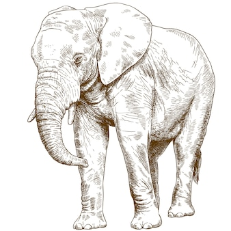 Gravure tekening illustratie van grote olifant