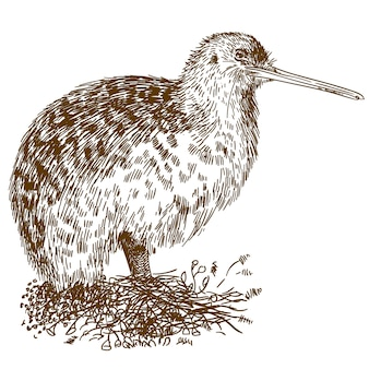 Gravure tekening illustratie van kiwivogel