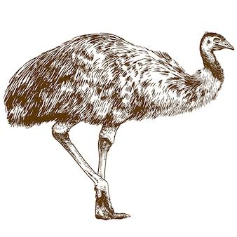 Gravure tekening illustratie van struisvogel emoe