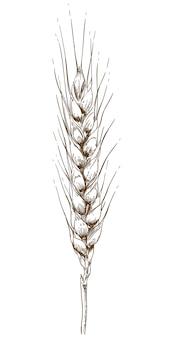 Gravure tekening illustratie van tarwe oor
