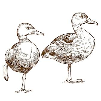 Gravure tekening illustratie van twee eenden