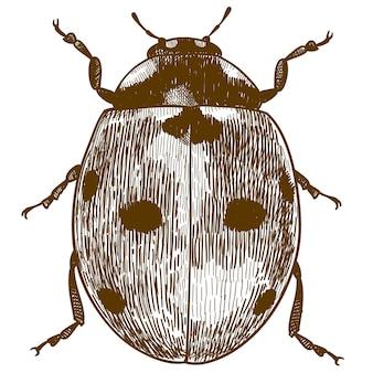 Gravure tekening van lieveheersbeestje of lieveheersbeestje
