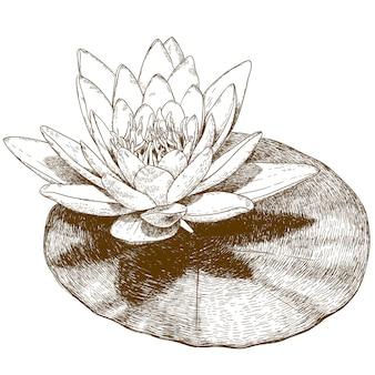 Gravure tekening van waterlelie bloem