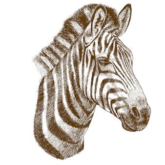 Gravure tekening van zebra hoofd