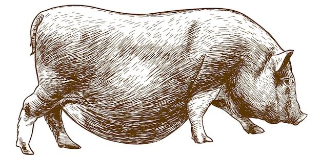 Gravure van antieke tekening van varken